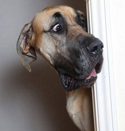 عکس سگ غول پیکر,سگ خنده دار