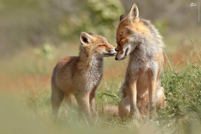 عکس های جالب از زندگی عاشقانه روباه ها