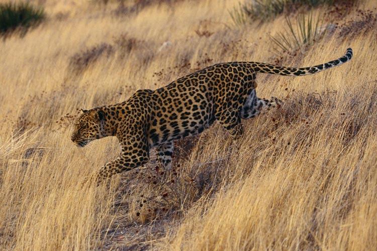 leopard-shiraz