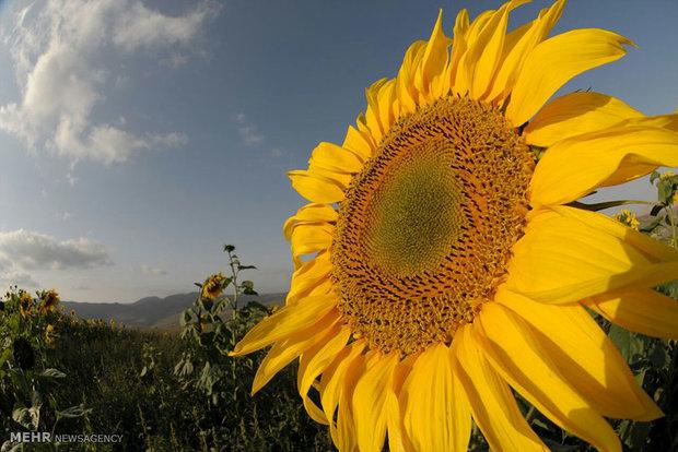 تخمه آفتاب گردان براش رشد و سلامت مو مفید است