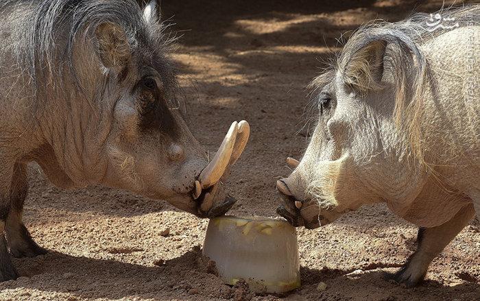 عکس های بامزه و جالب حیوانات در حال خوردن بستنی یخی!