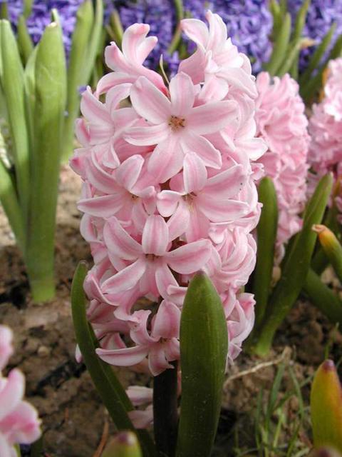 گل سنبل