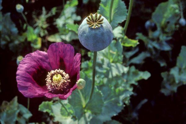 عکس گل خشخاش