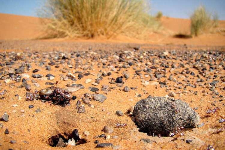 مورچه نقره ای صحرای بزرگ آفریقا