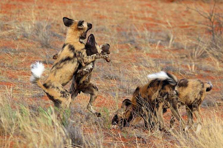 سگ وحشی آفریقایی