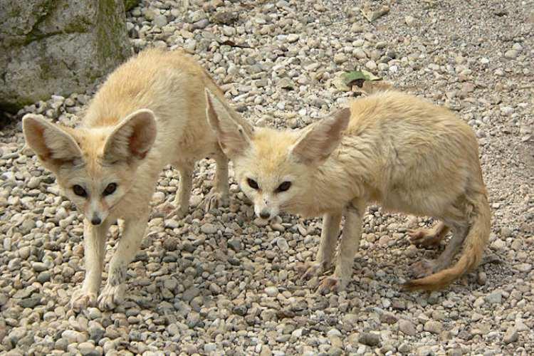 روباه صحرایی