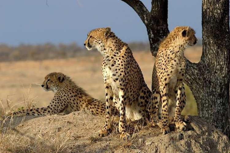 یوزپلنگ آفریقایی