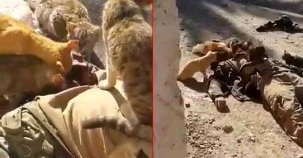 عکس عجیب از جسد تروریست داعشی که توسط گربه ها خورده شد!
