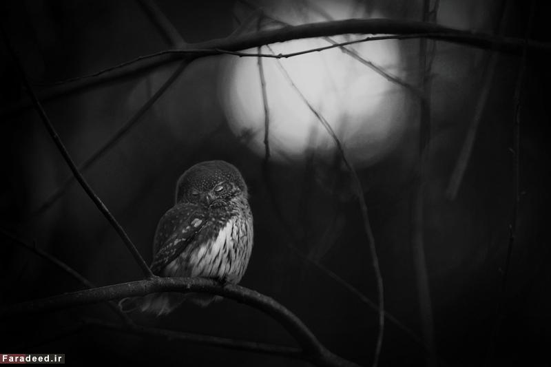 مرثیه ای برای یک جغد؛ تصویری از جغدی که جفتش را تازه از دست داده بر روی شاخه درخت، برنده جایزه عکس سیاه و سفید. عکاس: متس اندرسون