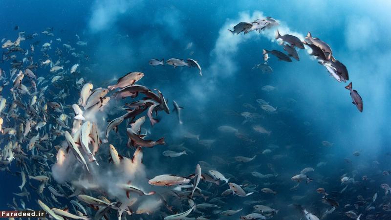"""ضیافت ماهی های """"سرخو"""" در فصل تخم ریزی در سواحل """"پالائو"""". برنده جایزه عکس های زیر آب. عکاس: تونی وو"""