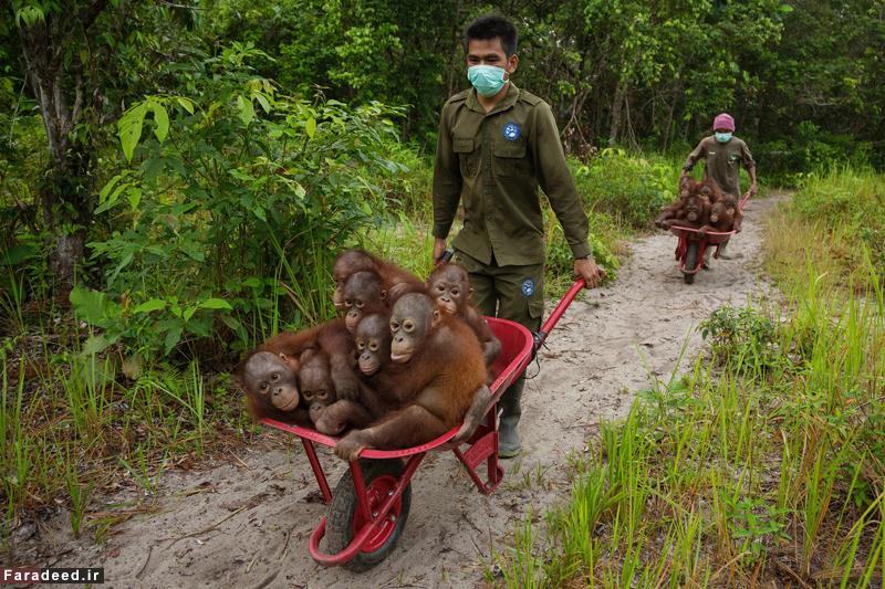 زندگی اورانگوتان ها، برنده جایزه اصلی. عکاس: تیم لامان