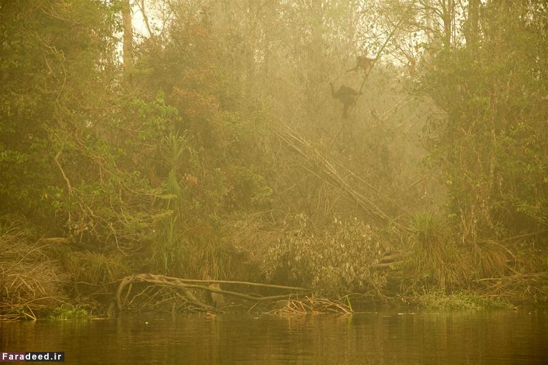 """اورانگوتان های گرفتار در جنگل های آتش گرفته """"بورنئو"""" در اندونزی. عکاس: تیم لامان"""