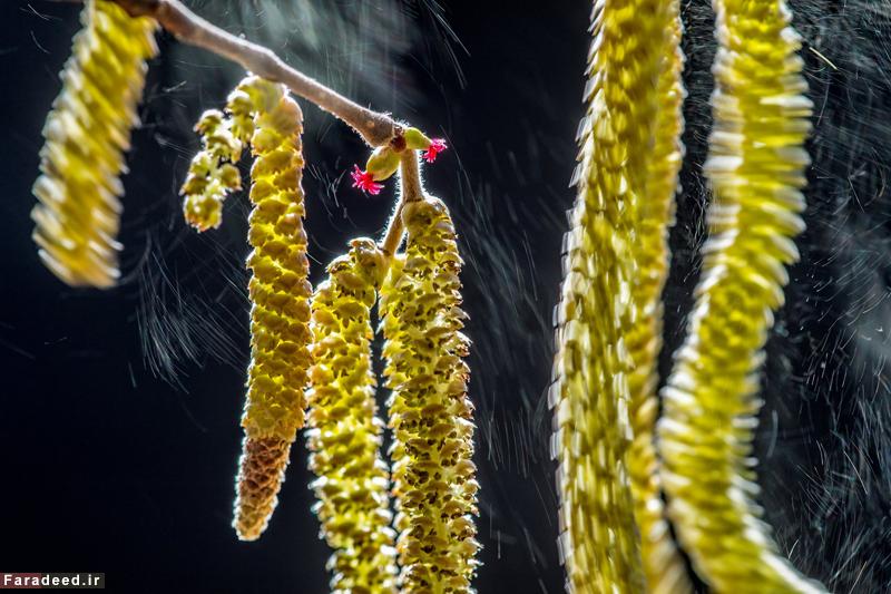 """تصویری از گل های درخت """"کوری لوس"""" در شمال ایتالیا، برنده جایزه بخش گیاهان. عکاس: والتر بینوتو"""
