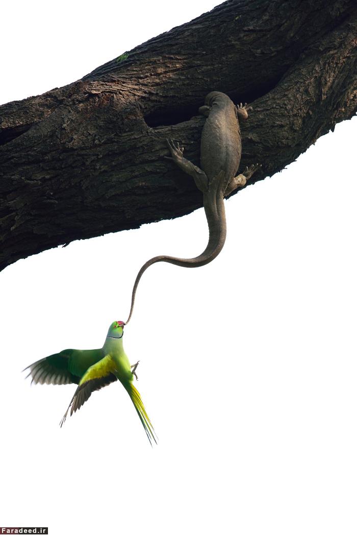 فرار از دست شکارچی، برنده جایزه بخش پرندگان. عکاس: گانش شانکار