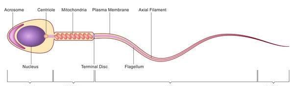 Photo of برای بارداری چه مقدار اسپرم لازم است؟