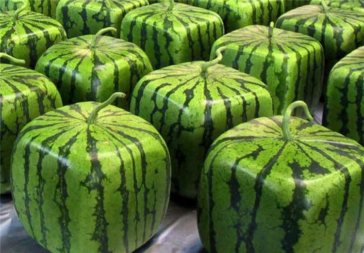 ۶. هندوانههای مربعی شکل توسط کشاورزان ژاپنی پرورش داده میشود تا بتوانند راحتتر آنها را انبار و نگهداری کنند.