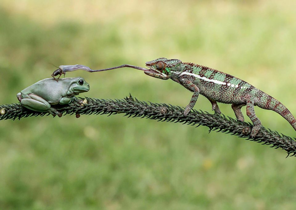 عکس جالب از شکار آفتاب پرست و قورباغه
