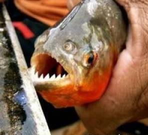 حمله ماهی های پیرانا به یک زن گردشگر در حال شنا