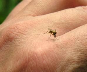 با برگ ریحان حشرات را دور کنید و از نیش حشرات در امان باشید
