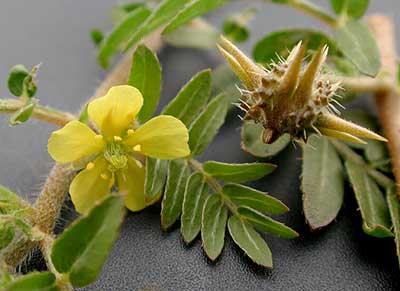 معرفی گیاهانی که اسپرم را بیشتر می کنند
