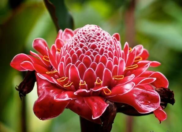 نحوه نگهداری و پرورش گل زنجبیلی در منزل