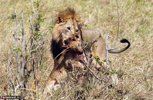 تصاویر باورنکردنی از کشتن و خوردن توله شیر توسط شیر نر