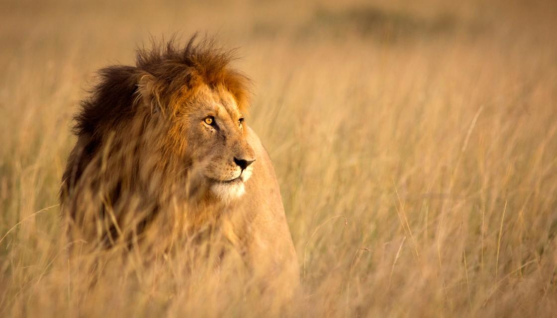 Photo of عکس شیر؛ عکس های با کیفیت سلطان جنگل شیر نر و شیر ماده