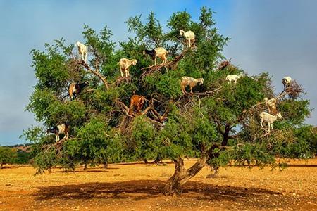 درختان پر از بز؛ جاذبه عجیب و جالب گردشگری در کشور مارکش