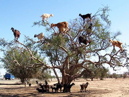 Photo of درختان پر از بز؛ جاذبه عجیب و جالب گردشگری در کشور مارکش