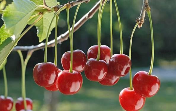 Albaloo 2 e1526905803180 با این میوه خوشمزه در ماه رمضان رفع تشنگی کنید