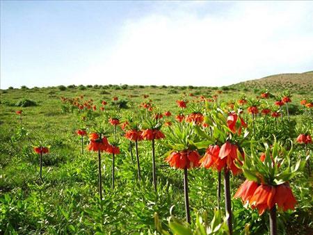 دشت لالههای واژگون گلستان کوه خوانسار