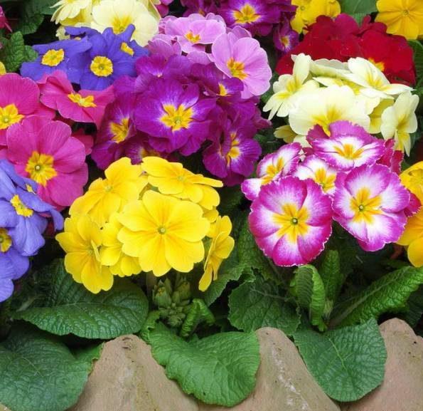خواص گل و روغن گیاه پامچال مغربی برای سلامت و زیبایی پوست و مو