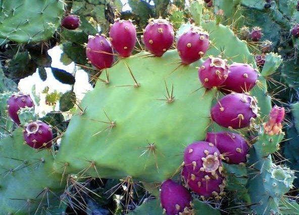 میوه کاکتوس برای لاغری | خاصیت شگفت انگیز میوه کاکتوس برای لاغری و زیبایی