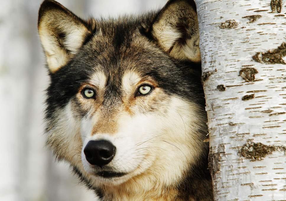 Photo of گرگ | دانستنی و حقایق جالب و شگفت انگیز در مورد گرگ