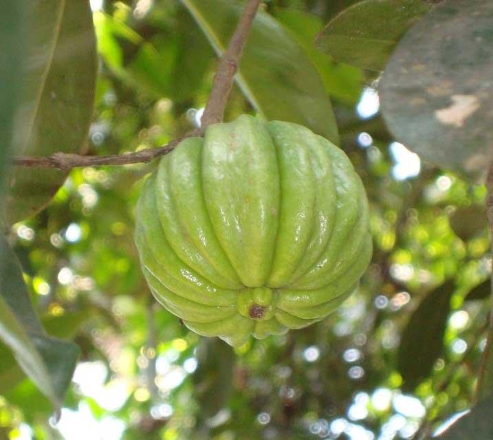 گارسینیا کامبوجیا