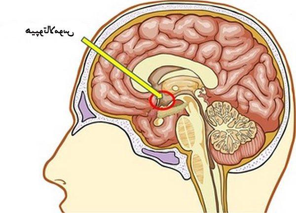 غده هیپوتالاموس چه وظیفه ای دارد؟ + اطلاعات کامل از این غده در مغز