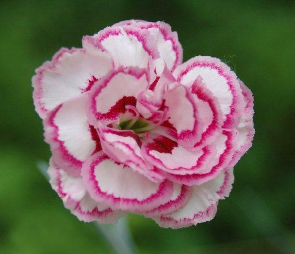 کاشت گل میخک در منزل