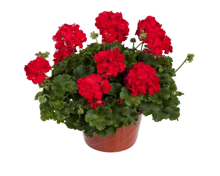 Photo of آموزش قلمه زدن گل شمعدانی + نحوه تکثیر این گل زیبا و محبوب