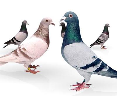 Photo of تعبیر خواب کبوتر + تعابیر خواندنی مختلف در مورد خواب کبوتر