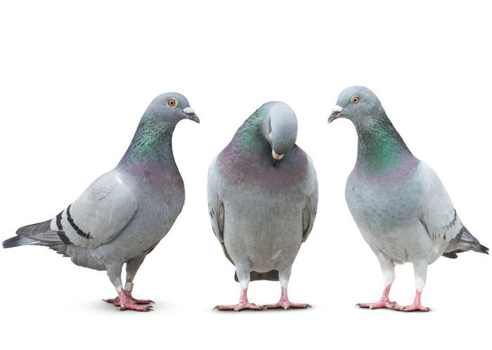 تعبیر خواب کبوتر