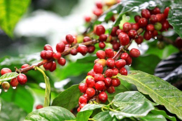 Photo of روش کاشت قهوه + آموزش کاشت قهوه در منزل به صورت اصولی