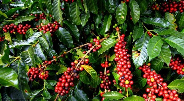 روش کاشت قهوه