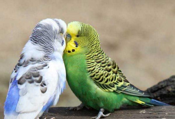 نحوه نگهداری مرغ عشق در خانه