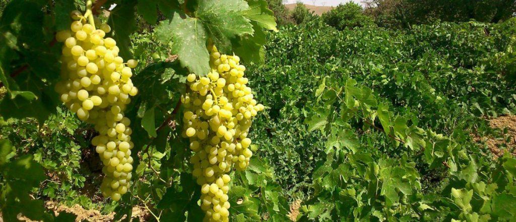 روش کاشت درخت انگور