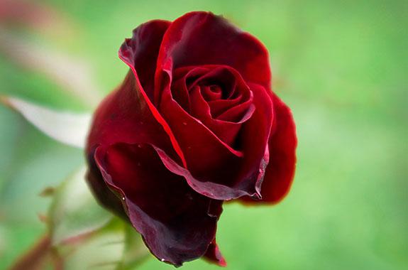 خواص گل سرخ