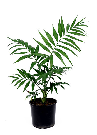 گیاه نخل گربه