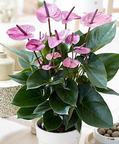 گل آنتوریوم