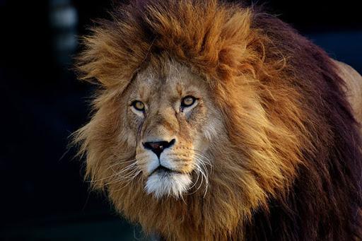 دانستنی در مورد حیوان شیر + اطلاعات خواندنی در مورد سلطان جنگل