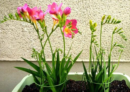 پرورش گیاه فریزیا + رشد و تکثیر گیاه زیبای فریزیا در منزل