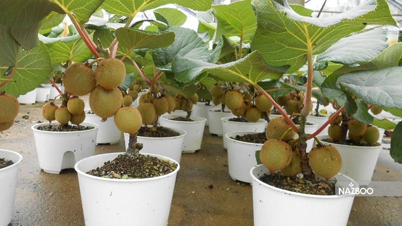 کاشت درخت کیوی به دو روش و سرایط نگهداری از این گیاه